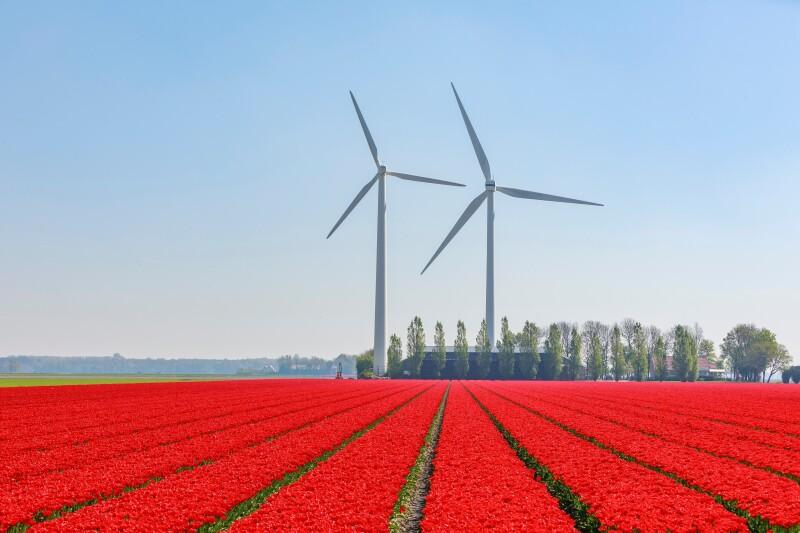 Un campo di tulipani con pale eoliche sullo sfondo